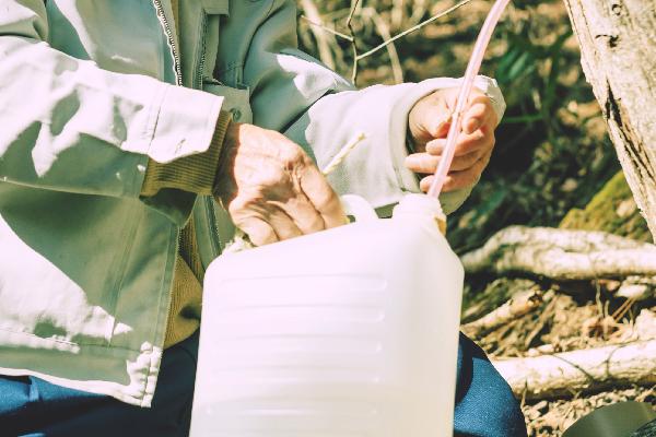 カエデの木から樹液を採取する様子