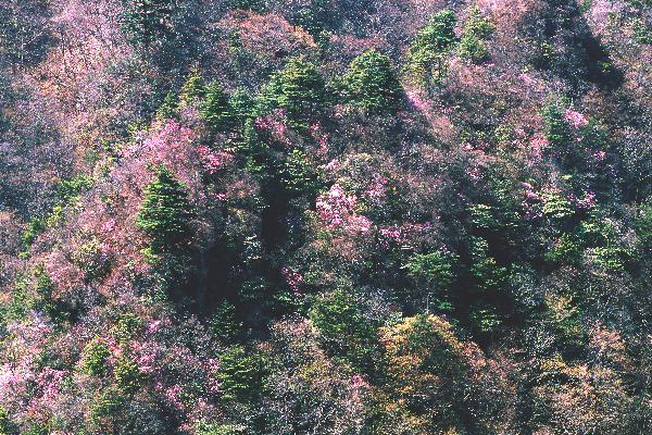 ふんわりと美しい 上野村の春の山